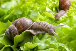 Helix pomatia, escargot de Bourgogne