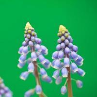 jacinthe de raisin photo