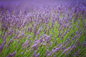 fleur de lavande dans un champ photo