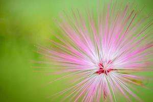 fleur de bouffée de poudre rose rouge en fleurs photo