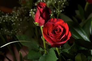 roses rouge foncé avec haleine de bébé photo