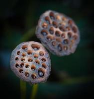 boîte de lotus