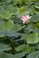 fleur de lotus_014 photo