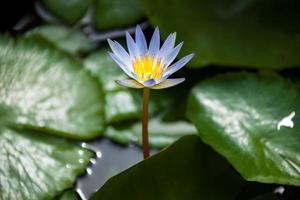 lotus du matin