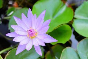 lotus dans le jardin