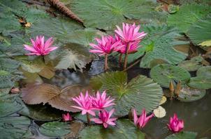 beau lotus dans l'étang