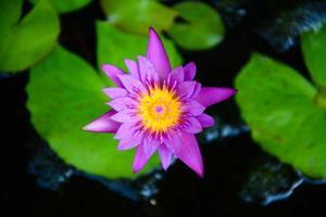 lotus violet dans l & # 39; étang