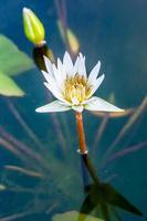 Fleur de lotus à Chiangmai en Thaïlande