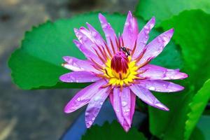 fleur de lotus en fleurs dans un étang