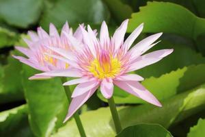 fleur de lotus rose dans la nature