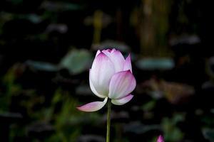 , belles fleurs de lotus rose en fleurs