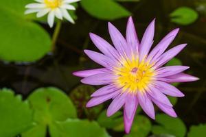 fleur de lotus pourpre