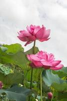 fleur de lotus en fleurs