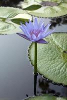 fleurs de lotus photo