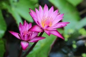 lotus, couleur fraîche, aux étamines jaunes de la fleur de lotus photo