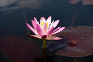 fleur de nénuphar rose. (lotus)