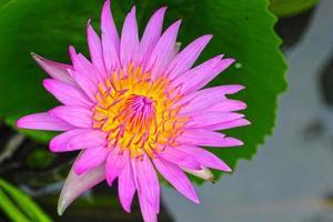 fleur de lotus - fleur pourpre dans la nature