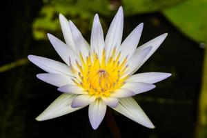 belle fleur de lotus blanc dans l'étang