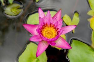 fleur de lotus dans l'étang; se concentrer sur la fleur