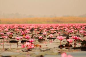 Lotus rouge dans l'étang à Kumphawapi, Udonthani, Thaïlande