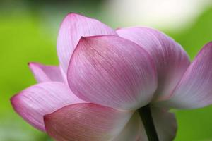 Fleurs de lotus dans le jardin de la ville de Yokohama Sankei