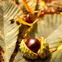 conkers automne photo