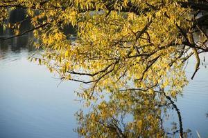 saule d'automne