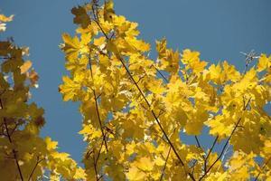 érable d'automne photo