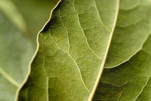 macro de feuille de laurier. fond vert.