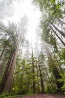 grands séquoias