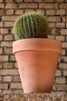 Cactus baril d'or dans un pot en argile