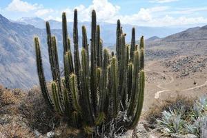 cactus dans le canyon de colca près de chivay, pérou.