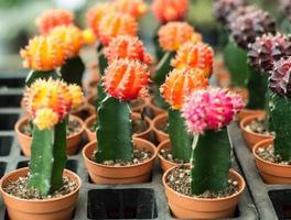 de nombreux cactus colorés en pot photo