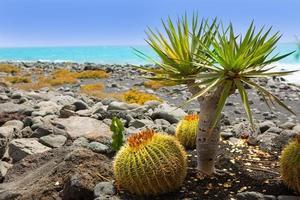 El golfo dans cactus de Lanzarote sur la côte atlantique