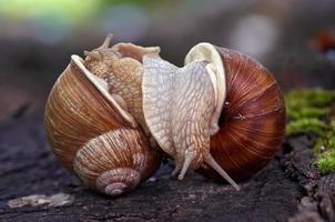 escargots comme un lutteur
