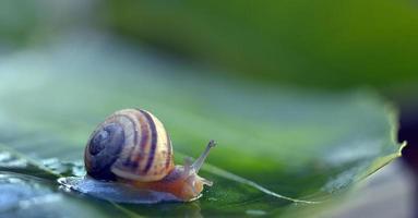 escargot de jardin sur une feuille