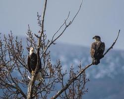 photo d'aigles perchés sur un arbre