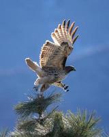 aigle brun et blanc volant