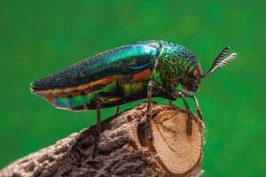 Macro insectes buprestidae fond bokeh photo