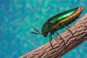 Insecte buprestidae sur fond bleu photo