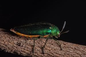Insecte buprestidae sur fond naturel photo