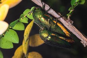 Insectes buprestidés sur fond naturel photo