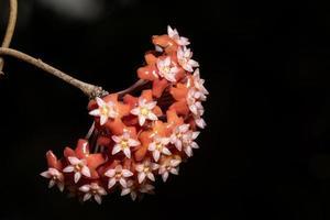gros plan fleur hoya rouge