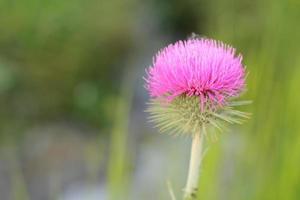 gros plan d'une belle fleur rose photo