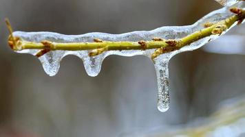 brindille congelée avec bourgeons