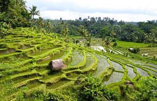 rizières en terrasses de Bali