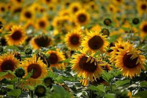 sonnenblumen photo