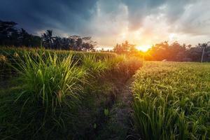 champ de riz photo