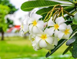 frangipanier, fleur de plumeria