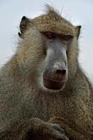 babouin de la savane